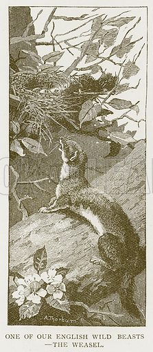 One of our English Wild Beasts – The Weasel. Illustration for History of England by HO Arnold-Forster (Cassell, 1897).