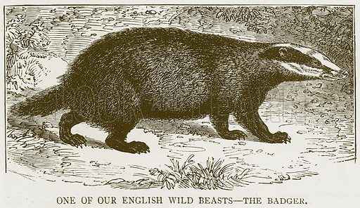 One of our English Wild Beasts – The Badger. Illustration for History of England by HO Arnold-Forster (Cassell, 1897).