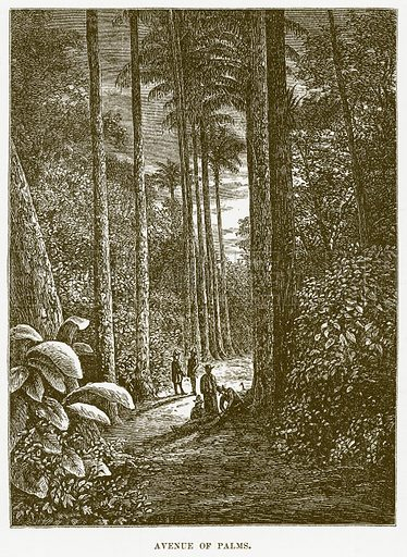 Avenue of Palms. Illustration for Boy Travellers in Australasia by Thomas Knox (Harper, 1889).