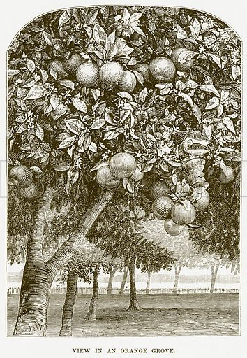 View in an Orange Grove. Illustration for Boy Travellers in Australasia by Thomas Knox (Harper, 1889).