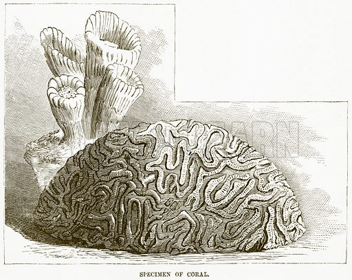 Specimen of Coral. Illustration for Boy Travellers in Australasia by Thomas Knox (Harper, 1889).