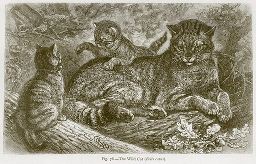 The Wild Cat (Felis Catus). Illustration for The Natural History of Animals by Carl Vogt and Friedrich Specht (Blackie, c 1880).
