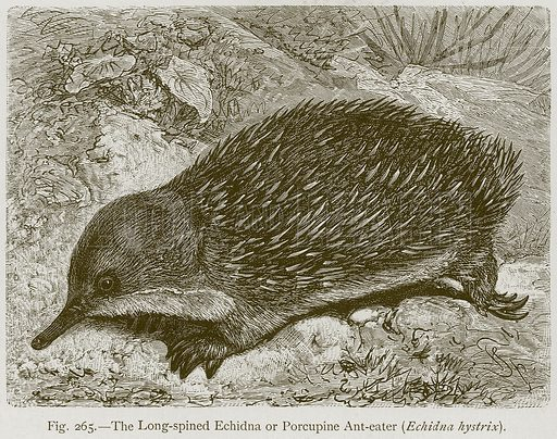 The Long-Spined Echidna or Porcupine Ant-Eater (Echidna Hystrix). Illustration for The Natural History of Animals by Carl Vogt and Friedrich Specht (Blackie, c 1880).