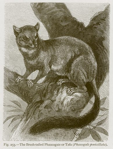 The Brush-Tailed Phascogale or Tafa (Phascogale Penicillata). Illustration for The Natural History of Animals by Carl Vogt and Friedrich Specht (Blackie, c 1880).