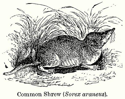 Common Shrew (Sorex Araneus). Illustration for Blackie's Modern Cyclopedia (1899).