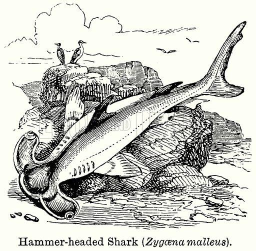 Hemmer-Headed Shark (Zygaena Malleus). Illustration for Blackie's Modern Cyclopedia (1899).
