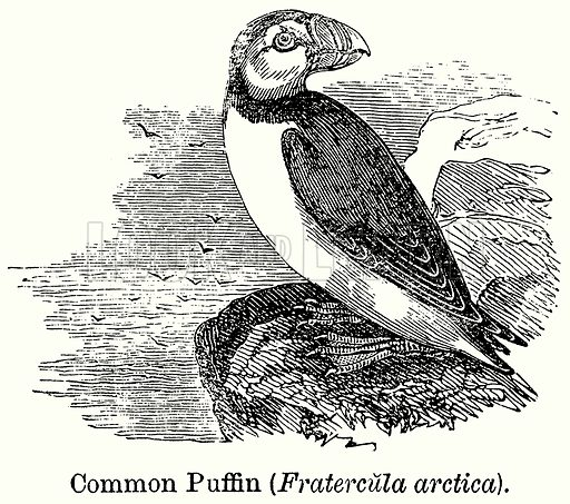 Common Puffin (Fratercula Arctica). Illustration for Blackie