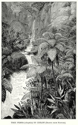 Tree Ferns (Alsophila) in Ceylon (Drawn from Nature). Illustration for Blackie's Modern Cyclopedia (1899).