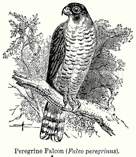 Peregrine Falcon (Falco Peregrinus). Illustration for Blackie's Modern Cyclopedia (1899).