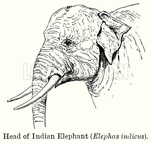 Head of Indian Elephant (Elephas Indicus). Illustration for Blackie's Modern Cyclopedia (1899).