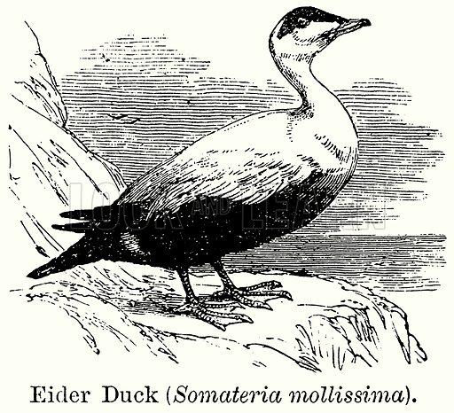 Eider Duck (Somateria Mollissima). Illustration for Blackie's Modern Cyclopedia (1899).