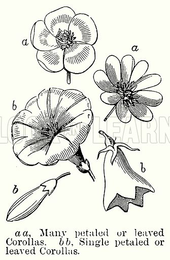 a a, Many Petaled or Leaved Corollas. b b, Single Petaled or Leaved Corollas. Illustration for Blackie's Modern Cyclopedia (1899).