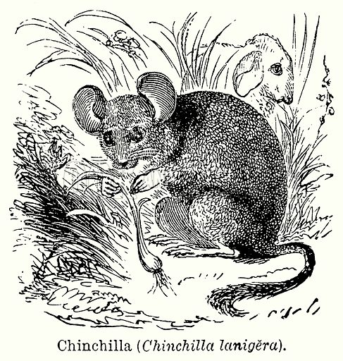 Chinchilla (Chinchilla Lanigera). Illustration for Blackie's Modern Cyclopedia (1899).
