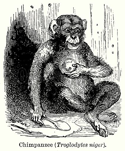Chimpanzee (Troglodytes Niger). Illustration for Blackie's Modern Cyclopedia (1899).