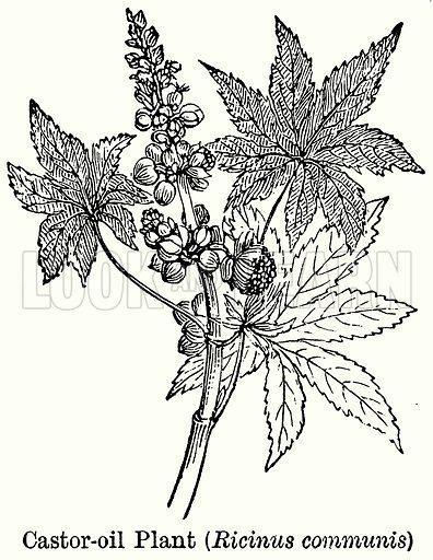 Caster-Oil Plant (Ricinus Communis). Illustration for Blackie's Modern Cyclopedia (1899).