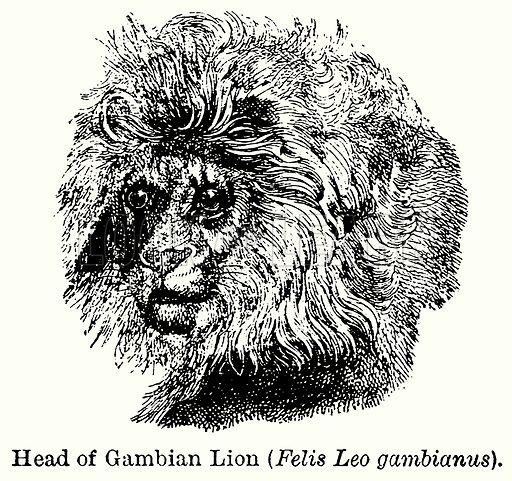 Head of Gambian Lion (Felis Leo Gambianus). Illustration for Blackie's Modern Cyclopedia (1899).
