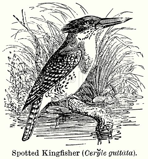 Spotted Kingfisher (Ceryle Guttata). Illustration for Blackie's Modern Cyclopedia (1899).
