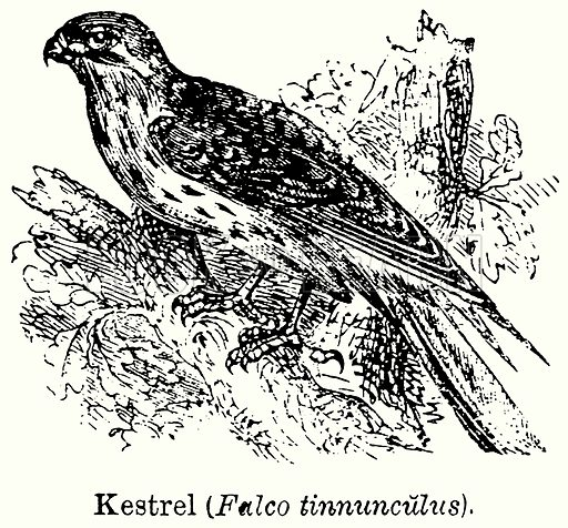 Kestrel (Falco Tinnunculus). Illustration for Blackie