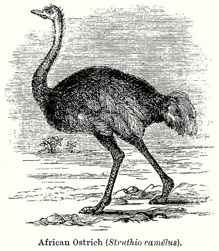 African Ostrich (Struthio Camelus). Illustration for Blackie's Modern Cyclopedia (1899).