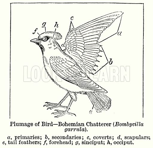 Plumage of Bird--Bohemian Chatterer (Bombycilla Garrula). a, Primaries; b, Secondaries; c, Coverts; d, Scapulars; e, Tail Feathers; f, Forehead; g, Sinciiput; h, Occiput. Illustration for Blackie's Modern Cyclopedia (1899).