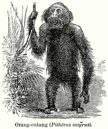 Orang-Outang (Pithecus Satyrus). Illustration for Blackie's Modern Cyclopedia (1899).
