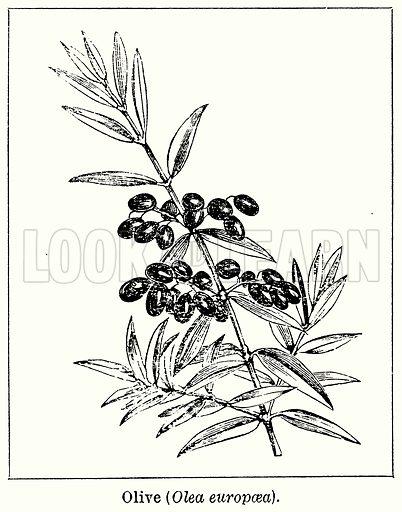 Olive (Olea Europaea). Illustration for Blackie's Modern Cyclopedia (1899).
