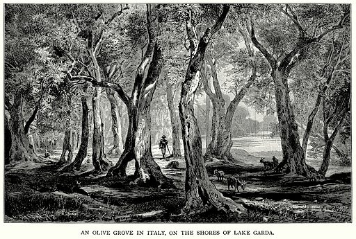 An Olive Grove in Italy, on the Shores of Lake Garda. Illustration for Blackie's Modern Cyclopedia (1899).