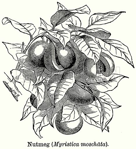 Nutmeg (Myristica Moschata). Illustration for Blackie's Modern Cyclopedia (1899).