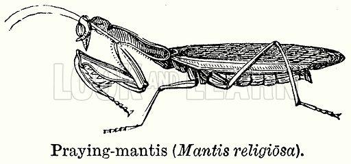 Praying-Mantis (Mantis Religiosa). Illustration for Blackie's Modern Cyclopedia (1899).
