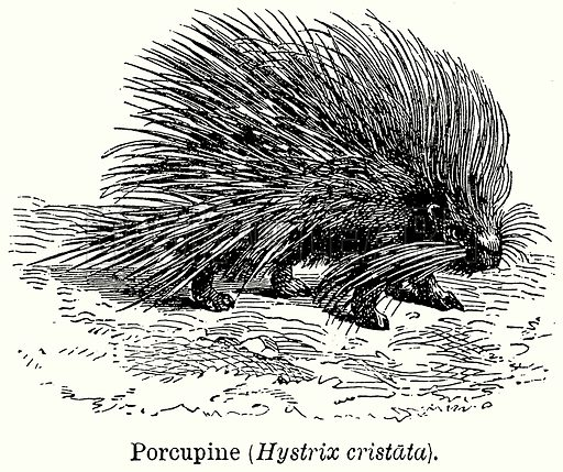 Porcupine (Hystrix Cristata). Illustration for Blackie's Modern Cyclopedia (1899).