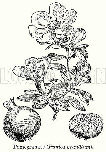 Pomegranate (Punica Granatum). Illustration for Blackie's Modern Cyclopedia (1899).