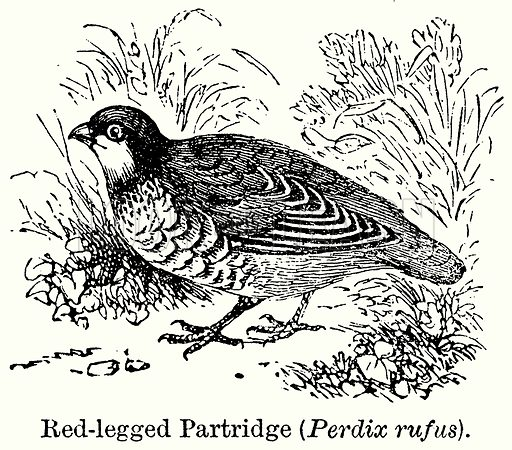 Red-Legged Partridge (Perdix Rufus). Illustration for Blackie's Modern Cyclopedia (1899).