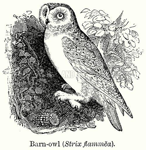 Barn-Owl (Strix Flammea). Illustration for Blackie's Modern Cyclopedia (1899).