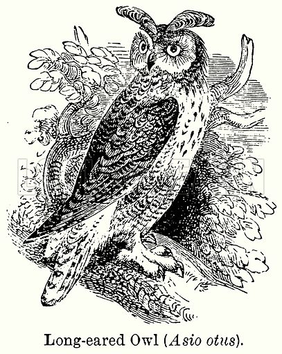 Long-Eared Owl (Asio Otus). Illustration for Blackie's Modern Cyclopedia (1899).