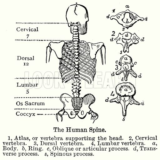 The Human Spine. 1, Atlas, or Vertebra supporting the Head. 2, Cervical Vertebra. 3, Dorsal Vertebra. 4, Lumbar Vertebra. a, Body. b, Ring. c, Oblique or Articular Process. d, Transverse Process. s, Spinous Process. Illustration for Blackie's Modern Cyclopedia (1899).