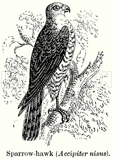 Sparrow-Hawk (Accipiter Nisus). Illustration for Blackie's Modern Cyclopedia (1899).