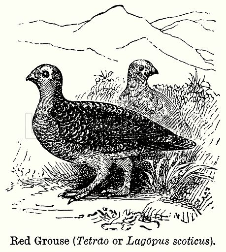 Red Grouse (Tetrao or Lagopus Scoticus). Illustration for Blackie's Modern Cyclopedia (1899).