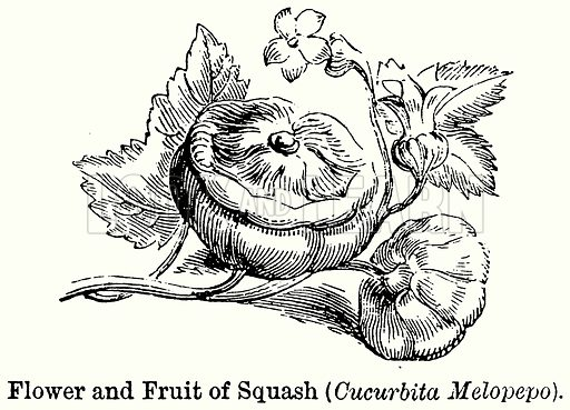 Flower and Fruit of Squash (Cucurbita Meloepo). Illustration for Blackie's Modern Cyclopedia (1899).