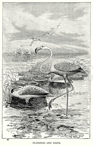 Flamingo and Nests. Illustration for Blackie's Modern Cyclopedia (1899).