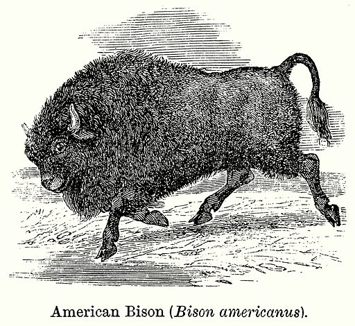 American Bison (Bison Americanus). Illustration for Blackie's Modern Cyclopedia (1899).