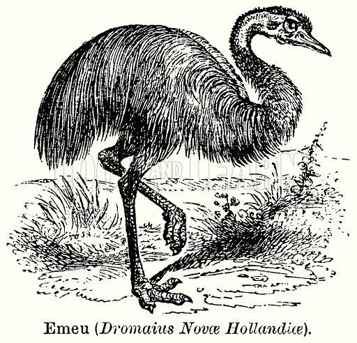 Emeu (Dromaius Novae Hollandiae). Illustration for Blackie's Modern Cyclopedia (1899).