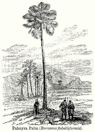 Palmyra Palm (Borassus Flabelliformis). Illustration for Blackie's Modern Cyclopedia (1899).