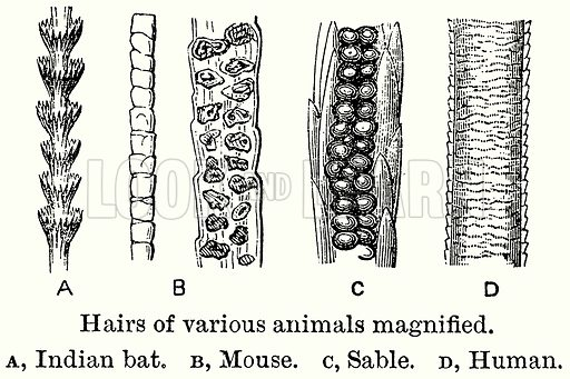 Hairs of Various Animals Magnified. A, Indian Bat. B, Mouse. C, Sable. D, Human. Illustration for Blackie's Modern Cyclopedia (1899).