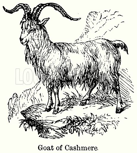 Goat of Cashmere. Illustration for Blackie's Modern Cyclopedia (1899).