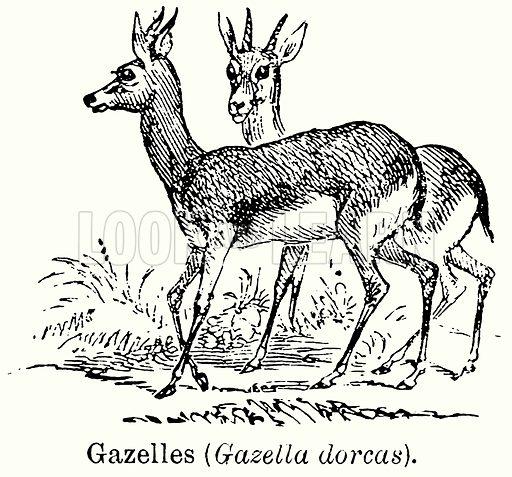 Gazelles (Gazella Dorcas). Illustration for Blackie's Modern Cyclopedia (1899).
