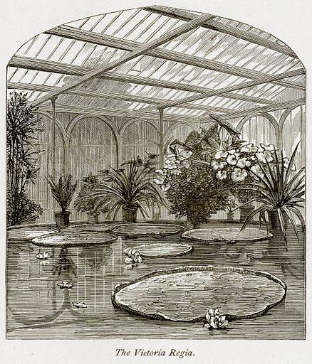 Victoria regia, picture, image, illustration
