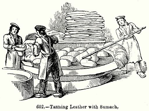 Tanning Leather with Sumach. Illustration for Knight