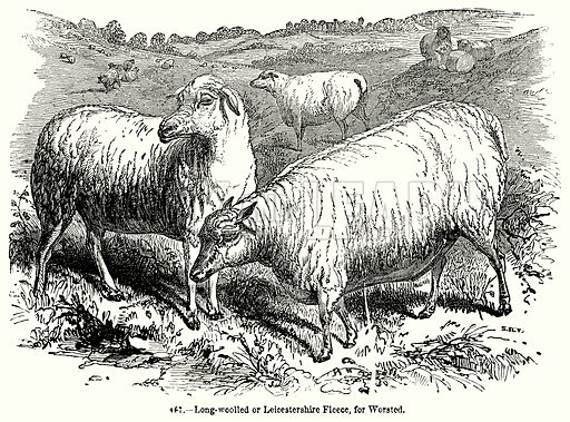 Long-Woolled or Leocestershire Fleece, for Worsted. Illustration for Knight's Pictorial Gallery of Arts (London Printing and Publishing, c 1860).