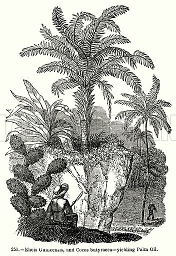 Elaeis Guineensis, and Cocos Butyracea – Yielding Palm Oil. Illustration for Knight's Pictorial Gallery of Arts (London Printing and Publishing, c 1860).