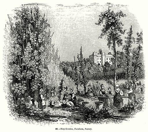 Hop Garden, Farnham, Surrey. Illustration for Knight